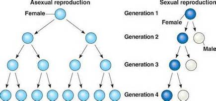 Genetic variation in asexual reproduction the offspring